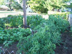 I LOVE my veggie Garden's