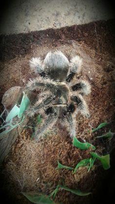 Andariel, my Curly Hair Tarantula. What a beaut.