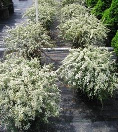 Spirea x cineria 'Grefsheim'. Spirea w/small, dense white flowers, blooms in April. Around 5.0′ tall and 5.0′ wide. Typical of the dense mounded Spirea's to be very dense and tight. What happens after it's done blooming? . . . nothing, that's right . . . nothing. Rather unremarkable for the rest of the year.