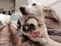 A cadelinha Daisy parece não se incomodar com a presença do amigo porco