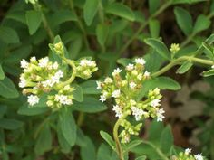 Stevia Plant- Ideal natural sweetener for people on carbohydrate controlled diets