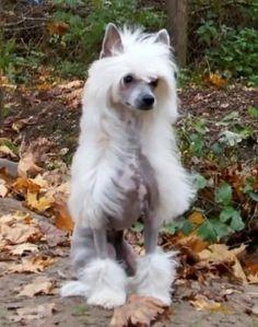 Chinese Crested Dog - Olegro Katrin Brissa Almires, Female powderpuff