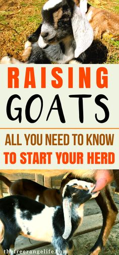 Absolutely everything you need to know about raising goats. From raising babies to breeding and kidding. Raising Goats | Dairy Goats | Homesteading | Livestock