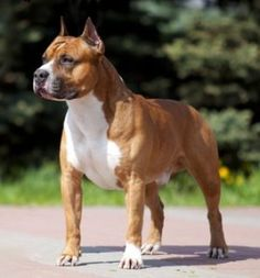 The American Staffordshire Terrier is commonly referred to as Amstaff. This loveable dog is most popular dog in the United States. Pitbull Terrier, Perros Bull Terrier, Chien Bull Terrier, Most Popular Dog Breeds, Best Dog Breeds, American Pitbull, American Staffordshire Terriers, Medium Sized Dogs Breeds, Pitbulls