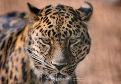 Leopard  by PHOTOPHH.1