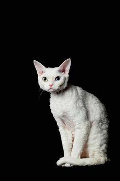 Devon Rex - Pretty blue/green eyes - #smallcat- See more stunning Devon Rex Cat Breeds at Catsincare.com!