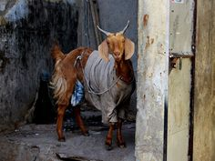 Goat, North India, National Geographic Photo of the Day. There is cold weather in North India in the winter and in the beginning of the spring. That's why people put old clothes (which they are not using anymore) on goats. Bird Pictures, Cool Pictures, Galaxy Note Cases, Funny Animals, Cute Animals, Create Your Own Case, Cute Goats, North India, Samsung Galaxy S