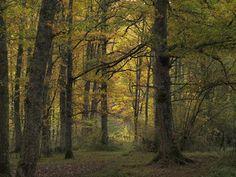 Mucho se habla de la belleza del otoño en los hayedos. Bien es cierto que el hayedo es un bosque espectacular en esta época del año. No obstante, si me dejas elegir, te diré que es el roble el que en mi opinión construye las arboledas más bellas, mágicas y misteriosas. Los últimos robledales maduros de Ultzama, de Basaburúa Mayor, de Xareta o de la Sakana conjugan en estos días tantos colores como quepan en tu imaginación.  En la foto, el robledal de Jaunsarats,  de una belleza indescriptible.