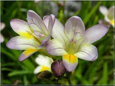 Flower Homes: Freesia Flowers