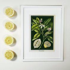 Bold Lemon Tree Art Print  Vintage Citrus Botanical Poster