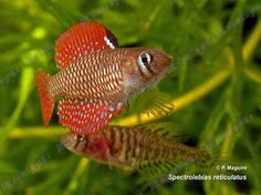 Spectrolebias reticulatus, one of the many species of annual pearl killifishes.  One I would like to keep and breed someday.