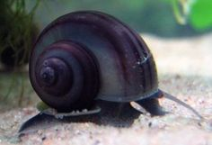 """black mystery snail ~ LOVE these in my pond! Live bearers that have a few """"litters"""" each season and eat algae rather than plants"""