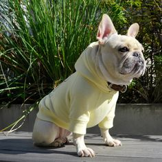 Frenchie in a hoodie