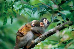 Macacos-de-cheiro
