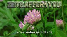 Wiesen Klee Trifolium pratense Rotklee red clover Blooming Timelapse Zei...
