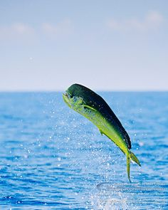 The mahi-mahi or common dolphinfish (Coryphaena hippurus) is a surface-dwelling ray-finned fish found in off-shore temperate, tropical an. Mahi Fish, Mahi Mahi, Salt Water Fish, Salt And Water, Deep Sea Fishing, Gone Fishing, Offshore Fishing, Sport Fishing, Saltwater Fishing