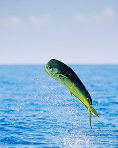 Mahi Mahi / Common Dolphinfish - Images   Masa Ushioda ...