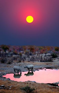 Sunset in Black Rhinos at a waterhole - Etosha National Park, Namibia