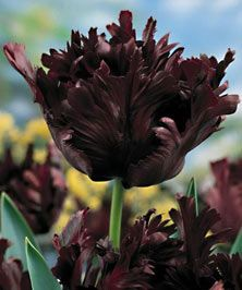 Black Tulip is almost unbelievably beautiful. It is the darkest of color of virtually any tulip—a blue black with shadings of red