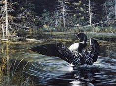 SUNLIT by Andrew Kiss is a great image of a loon flapping its wings. This could be a courtship ritual, or simply a loon getting ready to take off in flight. Check our website for other great loon prin