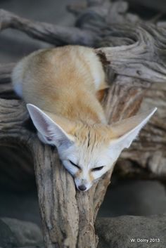 777 Best Fennec Fox Images In 2019 Foxes Funny Animals Animal Babies