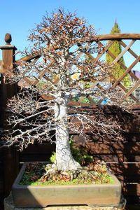 Bonsai Pruning Tips - Beauty Bonsai Pruning Plants, Bonsai Pruning, Tree Pruning, Bonsai Tree Care, Bonsai Art, Bonsai Garden, Bonsai Trees, Conifer Trees, Deciduous Trees