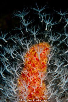 Coral by Allen Lee(houpc) Underwater Creatures, Underwater Life, Ocean Creatures, Life Under The Sea, Under The Ocean, Nano Cube, Beneath The Sea, Sea Anemone, Sea Slug