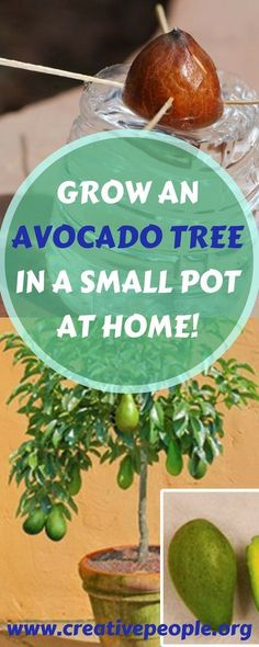 GROW AN AVOCADO TREE IN A SMALL POT AT HOME! (1)