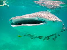 Whale Shark Salt Water Fish, Salt And Water, Whale Sharks, Whales, Ocean Habitat, Save The Sharks, Snorkelling, Sea And Ocean, Ocean Life