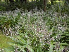 New Zealand rock lily photos