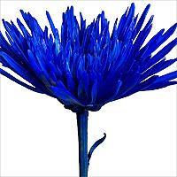 Spider Mums – Painted Patriotic Blue – 100 Stems - Sam's Club