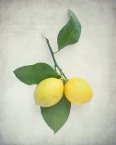 Lemon Photograph - fruit photography print - citrus lemons tree branch leaves - kitchen yellow green white - still life vintage food photo