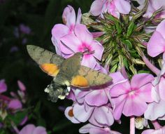The hummingbird hawk-moth (Macroglossum stellatarum) is a species of Sphingidae. The hummingbird hawk-moth…