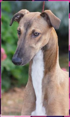 Beautiful fawn sabled Whippet Get your golf equipment at Golf USA. www.golfusa.c... Big Dogs, I Love Dogs, Cute Dogs, Dogs And Puppies, Doggies, Italian Greyhound, Magyar Agar, Sweet Dogs, Lurcher
