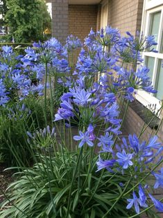 Whether you want to plant for the first time or renovate your garden, consider getting some Agapanthus Peter Pan.There are many cool things about this beautiful flower that will probably entice you. 10 Amazing Facts Of Agapanthus Peter Pan - African Lily Tropical Garden, Flower Garden Plans, Planting Flowers, Plants, Urban Garden, Garden Planning, Indoor Plants, Landscaping Plants, Agapanthus