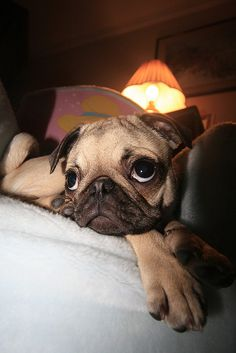 I want a pug so so bad. I find them to be adorable.