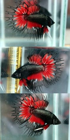 Black red crowntail betta.