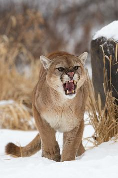 cougar, puma, mountain lion, catamount, or ???  This cat has many names.