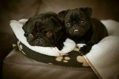 black baby pug brothers
