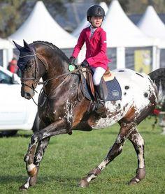 Cayuse Bling Du Rouet - New Zealand - Appaloosa stallion at stud - oh drool! Cute Horses, Pretty Horses, Horse Love, Beautiful Horses, Appaloosa Horses, Breyer Horses, Horse Tack, Horse Stalls, Horse Barns