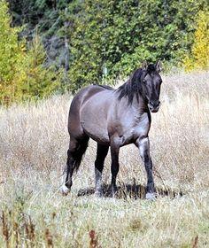 Morgan Colors- Dun Morgan Horses