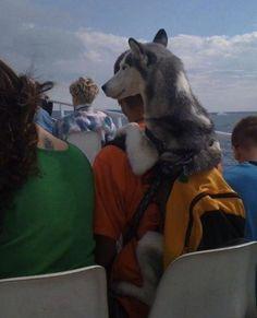 Husky in a Backpack