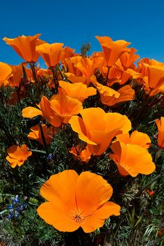 poppy fields. my favorite flower...arizona poppy