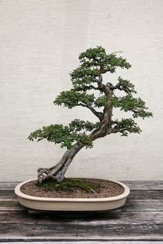 Chinese Elm (Ulmus parvifolia) | Flickr - Photo Sharing!