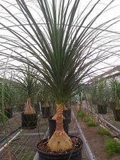 Pony Tail Palm Tree  (Beaucarnea recurvata)