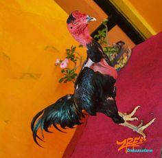 Ayam saigon super Zrf rooster farm probolinggo indonesia