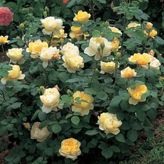 Charles Darwin - Bare Root Roses - Delivery Type