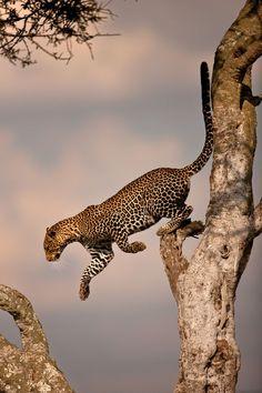 Leopard | kitty | Pinterest