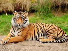 tiger - Google Search.Use for Princess Jasmine PinUp.