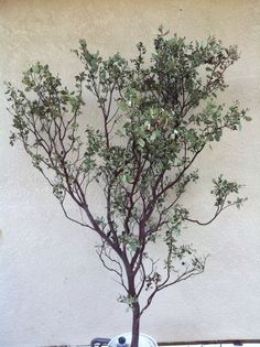 Natural Red Manzanita 12-24 inches. $19.99, via Etsy.
